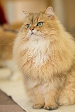 Persian in Cat Cafe.jpg