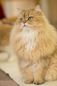 Persian in Cat Cafe.jpg