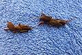 Perth mole crickets 1.jpg