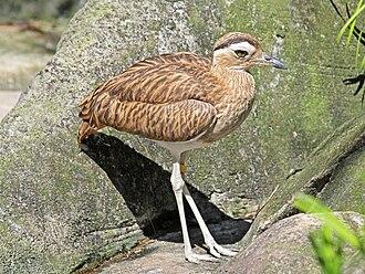 Peruvian thick-knee - In Jacksonville Zoo