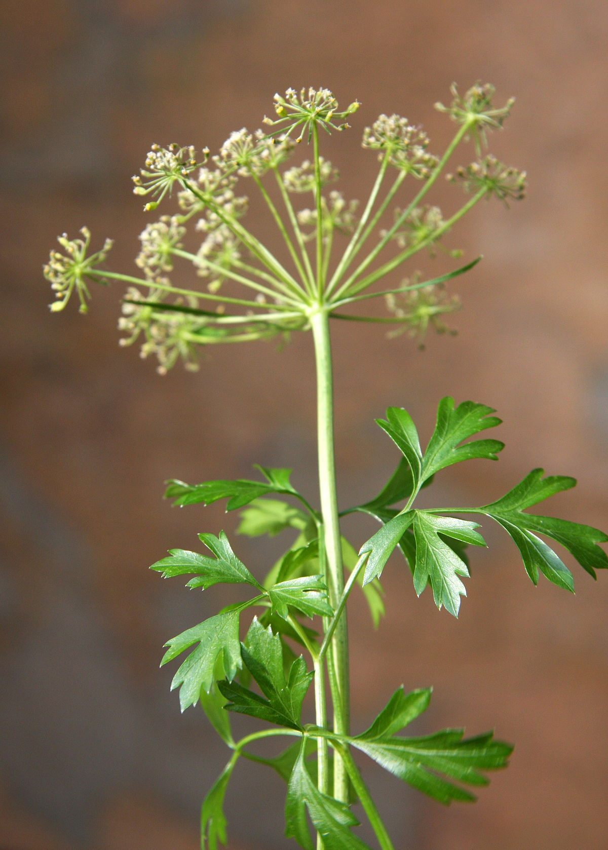 Parsley - Wikipedia