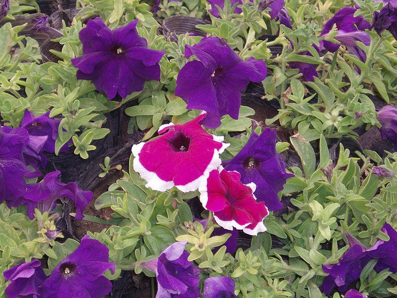 البتونيا الرائعة البتونيا 800px-PetuniaHybrida