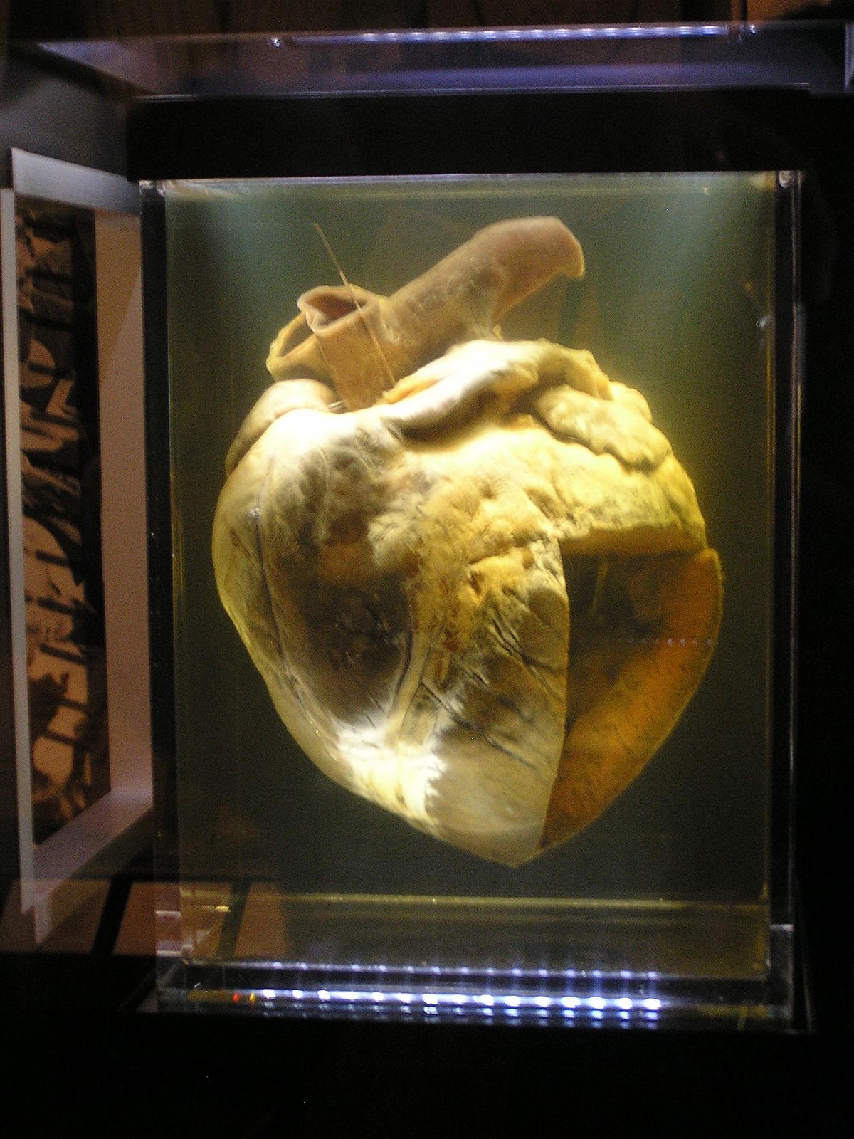 Circulatory system of the horse - Wikipedia
