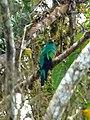 Pharomachrus auriceps (Quetzal colinego) (6) (14167921693).jpg