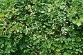 Phaseolus lunatus(Fabaceae).jpg