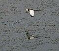 Pheasant-tailed Jacana (Hydrophasianus chirurgus) in Hyderabad W IMG 8404.jpg