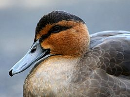 Philippine Duck (Anas luzonica) (11).JPG