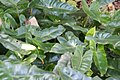 Philodendron burle-marxii 3zz.jpg