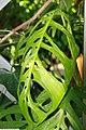 Philodendron grazielae 1zz.jpg