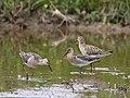 Philomachus pugnax (flocks).jpg