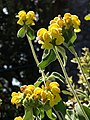 Phlomis, Rock End Walk - geograph.org.uk - 821887.jpg