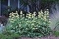 Phlomis russeliana IMG 0107.jpg