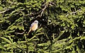 Phoenicurus phoenicurus - Common Redstart, Giresun 2018-08-16 04.jpg