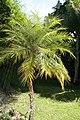 Phoenix roebelenii 27zz.jpg