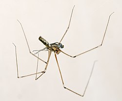 Pholcus phalangioides MHNT male.jpg