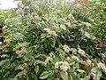 Photinia en fleurs.jpg