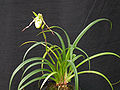 Phragmipedium richteri 039.jpg