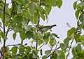 Phylloscopus plumbeitarsus, Ulan-Ude, Ivolginskiy, Buryatia Republic, Russia 2.jpg