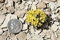 Physaria congesta bluffs bladderpod plant.jpg