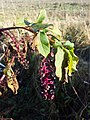 Phytolacca americana sl17.jpg