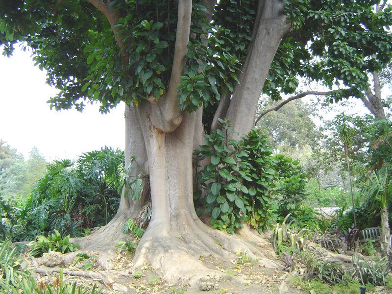 Archivo:Phytolacca dioica.jpg