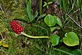 Pidrichchia Kamin-Kashyrskyi Volynska-Mochuryne lake nature reserve-Calla palustris.jpg