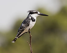 Pied kingfisher.jpg