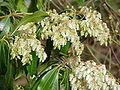 Pieris japonica1.jpg