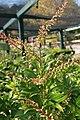 Pieris japonica Mountain Fire 7zz.jpg