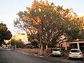 PikiWiki Israel 34058 Sycamore tree in Ramat Gan.JPG