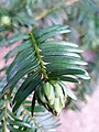 Pinales - Taxus baccata - 9.jpg