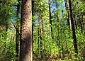 Pine Swamp (1) (8718631017).jpg
