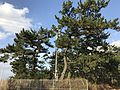 Pine trees near Shimonoseki City Toyoura Hospital.jpg
