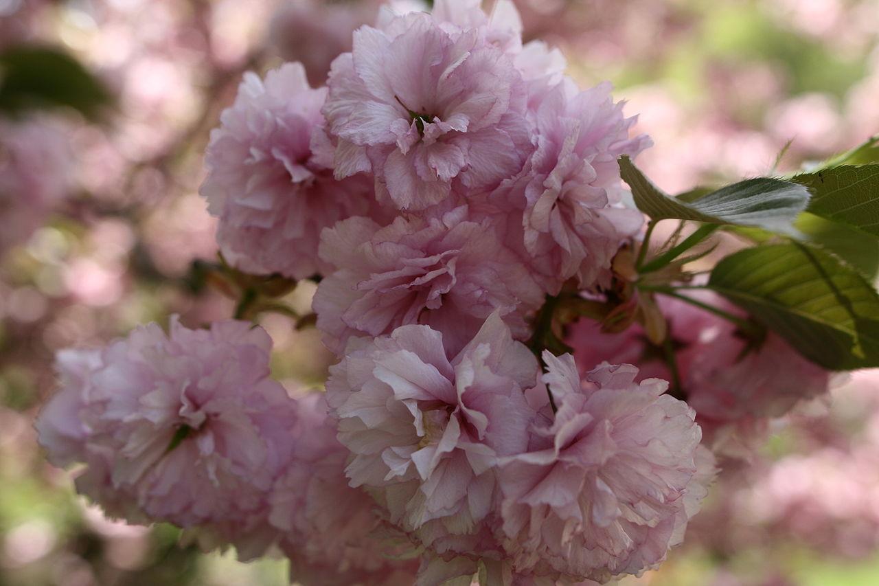 Filepink Flower Bloom Tree West Virginia Forestwanderg