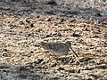 Pintail snipe-from kattampally wetland - 1.jpg