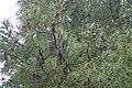 Pinus halepensis kz25 (Morocco).jpg