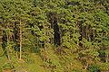 Pinus rigida Washburn Island1.jpg