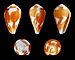 Pionoconus catus forma rubrapapillosa 01.JPG