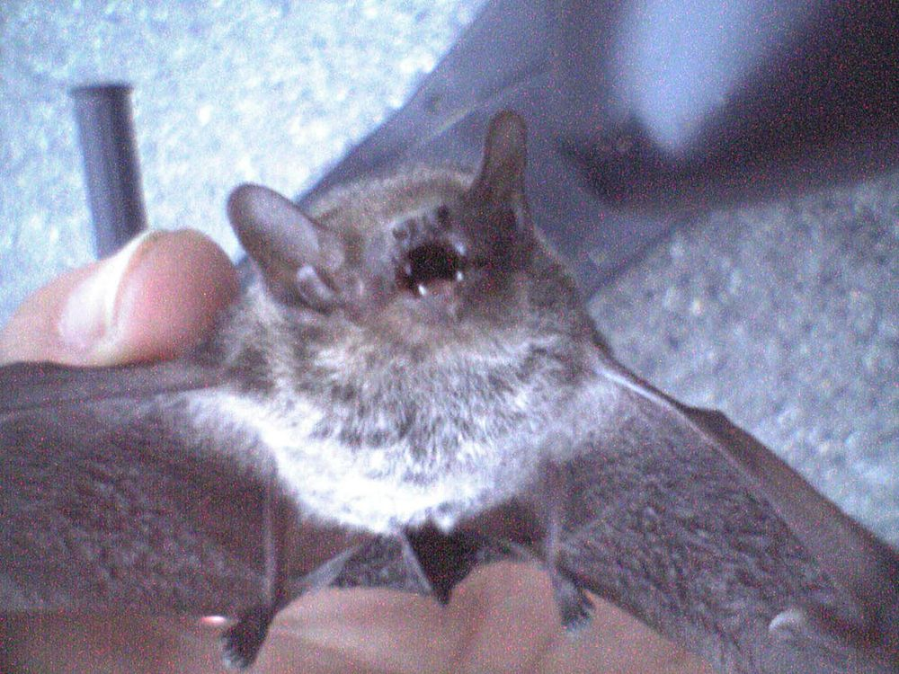 The average litter size of a Japanese house bat is 2
