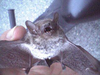 Japanese house bat species of mammal