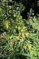 Piptanthus nepalensis kz03.jpg