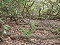 Pirangi cashew tree.jpg