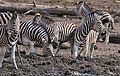 Plains Zebras (Equus quagga burchellii) at waterhole ... (32989294802).jpg