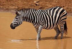 Plains zebra (common zebra or Burchell's zebra), Equus quagga at Pilanesberg National Park, Northwest Province, South Africa (16906289242).jpg