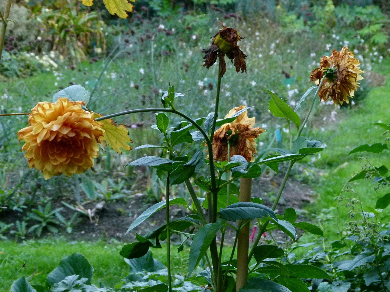 File plantes fan es du jardin des plantes de paris jpg for Plante jardin