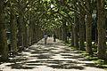 Platanen am Nizza.jpg