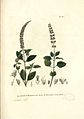 Platostoma africanum P. Beauv.jpg