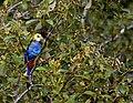 Platycercus adscitus -Australia-8.jpg