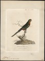 Platycercus pennantii - 1789 - Print - Iconographia Zoologica - Special Collections University of Amsterdam - UBA01 IZ18500001.tif