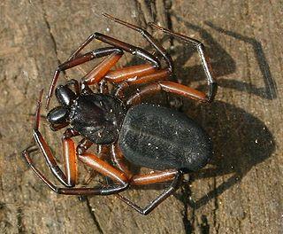 Trochanteriidae Family of spiders
